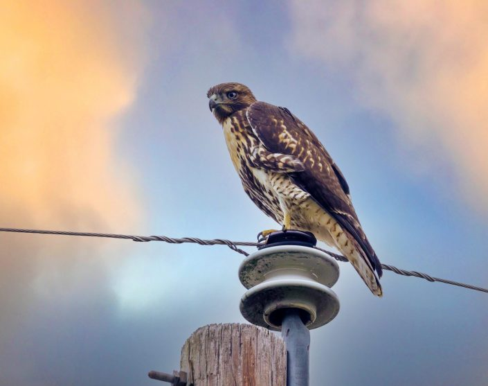 Red Hawk on power-ole