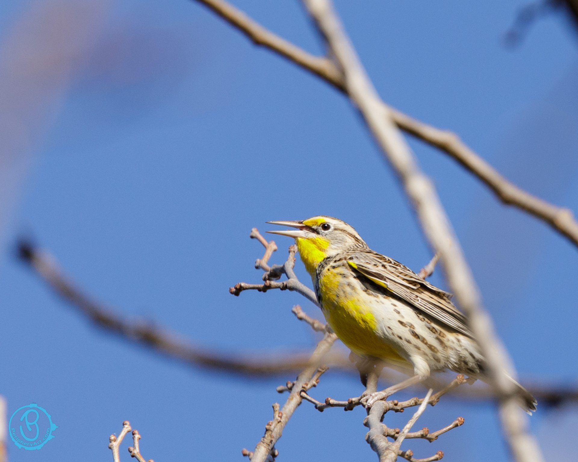 Western Meadowlark in tree